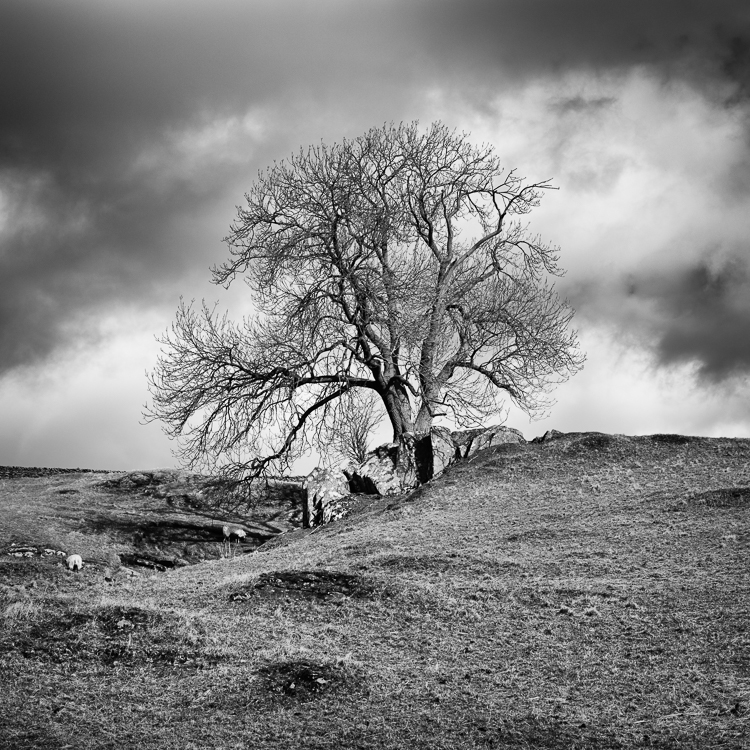11 Ribblesdale Tree