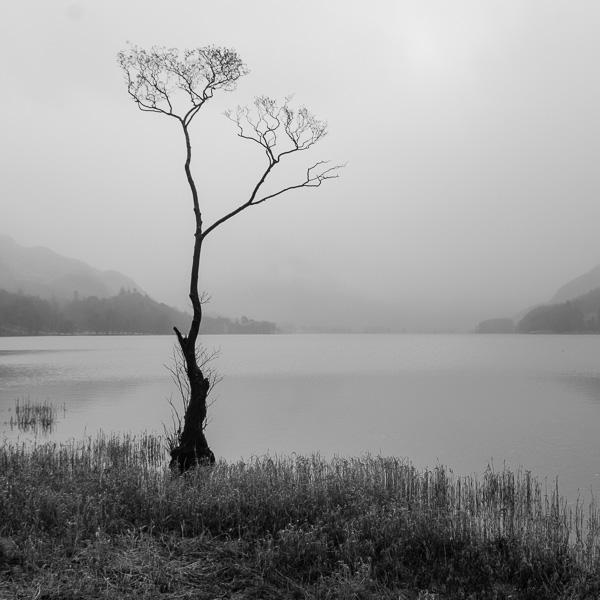 Misty Buttermere Tree